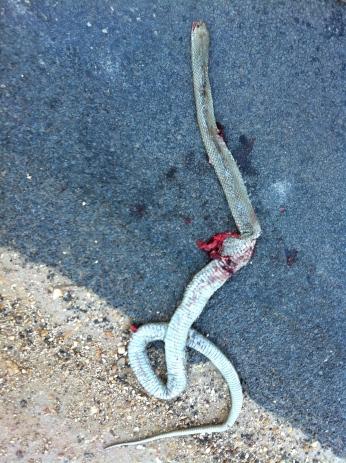 roadkill copperhead  snake